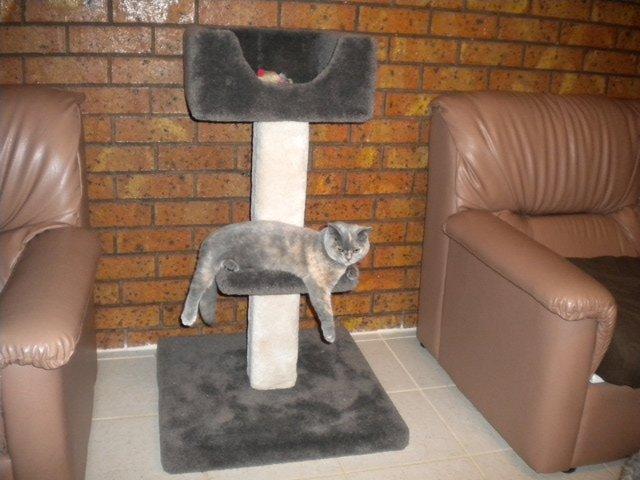 trouvez l 39 arbre chat parfait pour votre maine coon. Black Bedroom Furniture Sets. Home Design Ideas