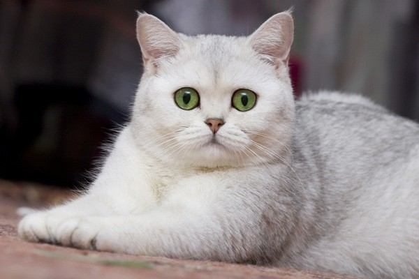 british shorthair silver shaded