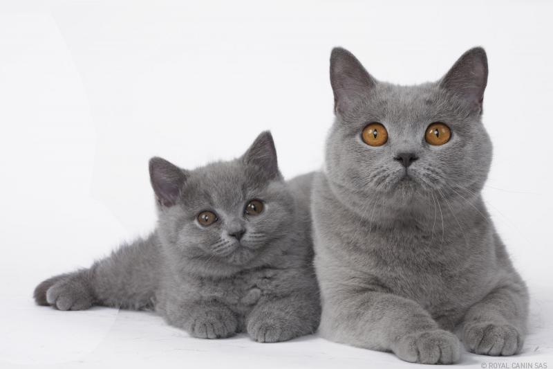 British-Shorthair-64333